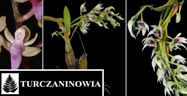 Научный ботаничекий журнал Turczaninowia